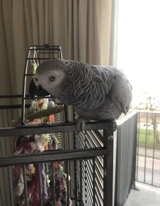 Pappagallo grigio