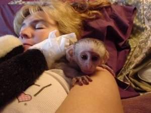 Splendide scimmie cappuccine maschio e femmina per l'adozione di Natale