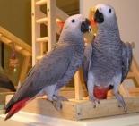 Pappagalli africani dolci e adorabili per adozione