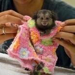 scimmie pigmei disponibili per l'adozione