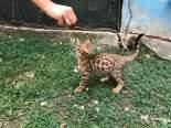 Cuccioli gatto bengala allevamento registrato anfi